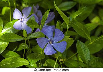 Flowering violet periwinkle. Curly periwinkle. Floral natural background