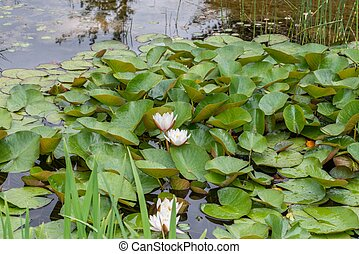 Flowering water lilies in a pond