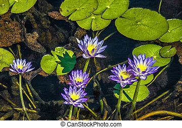 Flowering Waterlillies