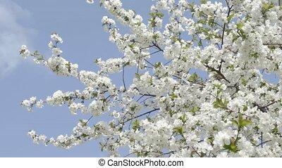 Flowering white cherry on wind agai