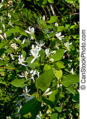 White flowers of honeysuckle on a background green leaves
