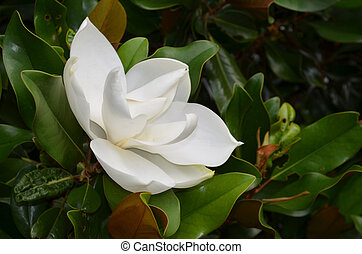 Flowering White Magnolia Blossom on a Magnolia Tree