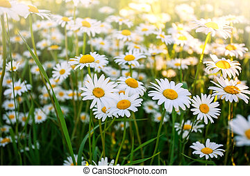 Flowering wild chamomile flowers on field in sunny day