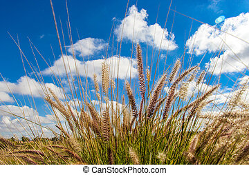 Flowering wild ornamental grass with delicate fluffy inflorescences in open countryside under a beautiful blue sky with fluffy white clouds