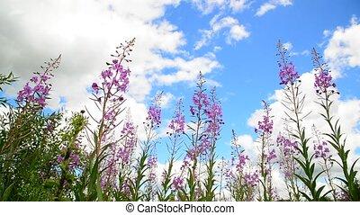 Flowering willow tea on sky background - Flowering willow...