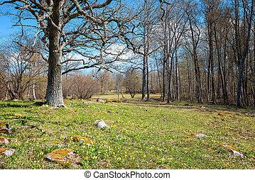 Flowering Windflowers in spring with Oak tree
