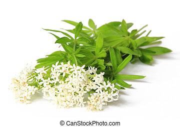 Flowering woodruff (Galium odoratum), isolated against a ...
