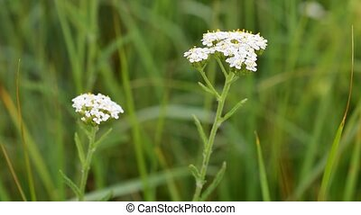 Flowering yarrow plant. Milfoil or common yarrow, medicinal...