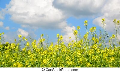 Flowering Yellow Barbarea vulgaris in wind against beautiful sky