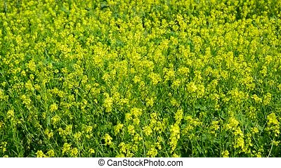 Flowering Yellow Barbarea vulgaris in wind