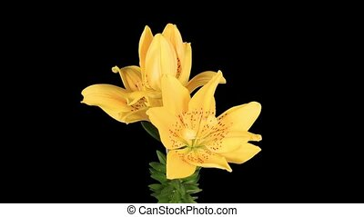 Flowering yellow lily