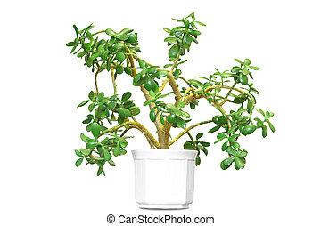 Flowerpot - green plant isolated on white (Crassula ...