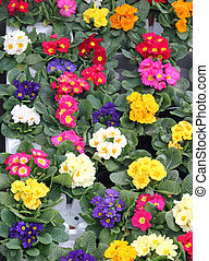 flowerpots and Primroses just blossomed into selling to the flower market