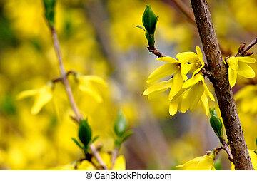 flowers., 春, forsythia., 黄色