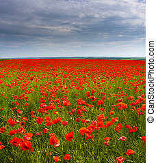 Flowers - a field of red poppies
