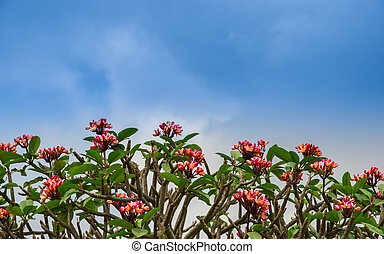 flowers Adenium line on the sky, background