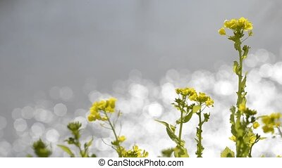 Flowers and glitters - Yellow cole flowers in front of...
