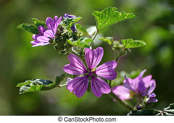 Flowers and leaves of tall mallow.