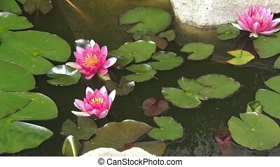 Flowers and leaves of the pink water-lily