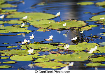Flowers and Lilly pads