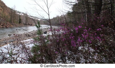 Flowers and plants on shore of river in mountain Siberia...