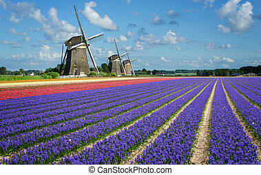 Purple and pink hyacinth flowers in front of three windmills in the Bulb Region in Holland.
