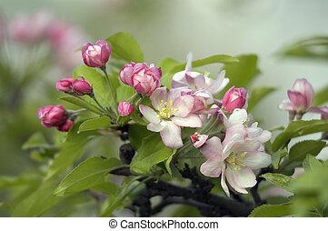 Flowers - Apple flowers