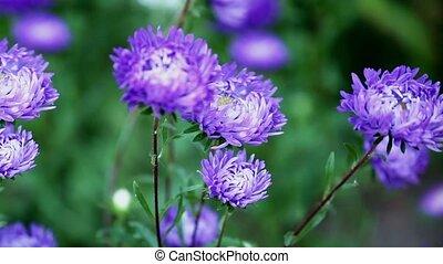 flowers asters