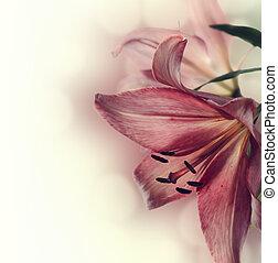 Flowers - Beautiful pink lily flower closeup