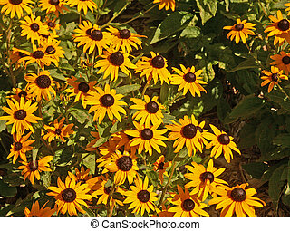 flowers - black eyed susan