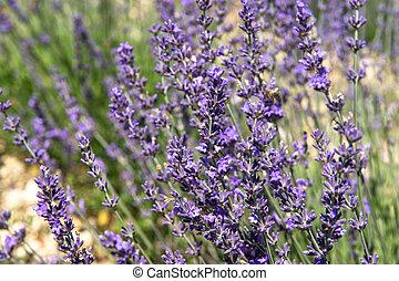 flowers., bloeien, lavendel, achtergrond, natuur