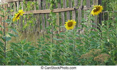 Flowers blooming sunflowers near wooden fence - Flowers...