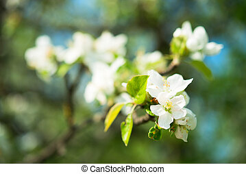 Flowers branch of an apple tree