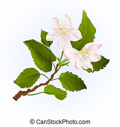 Flowers branch of apple tree vector