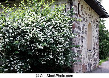 Flowers by the Church - Blossoming Philadelphus coronarius...