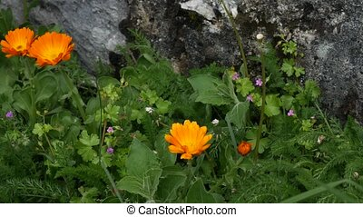 Flowers Calendula officinalis on the flowerbed near the house. F