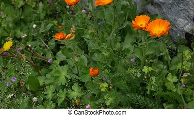Flowers Calendula officinalis on the flowerbed near the...