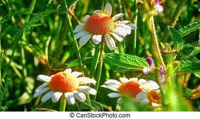 flowers chamomile on field macro 4k