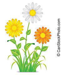 flowers., chamomile, stokrotka