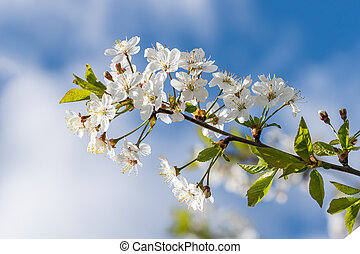 Flowers Cherry flowering against the background of flowers