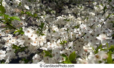 Flowers Cherry flowering. White flower sakura. Tree...