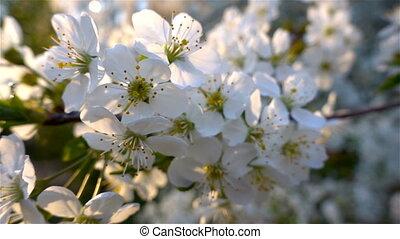 Flowers Cherry flowering. White flower sakura. Tree flowering. Nature.