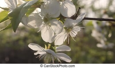 Flowers cherry - The cherry flowering are always beautiful...