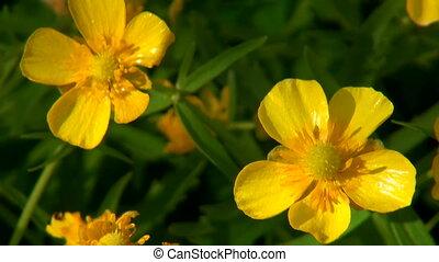 Flowers Chicken blindness