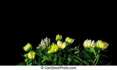 Flowers Chrysanthemum blooms, time-lapse