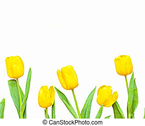 Flowers composition. Frame made of  yellow tulips on white background. Valentines day, mothers day and womens day concept. Flat lay, top view.