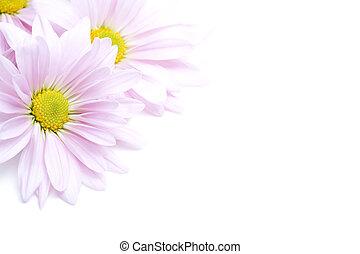flowers corner - lavender daisies shot highkey on white