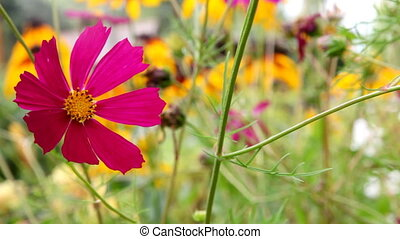 flowers cosmos waving in the wind