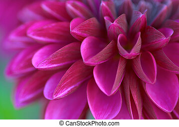 dahlia culture: a purple one