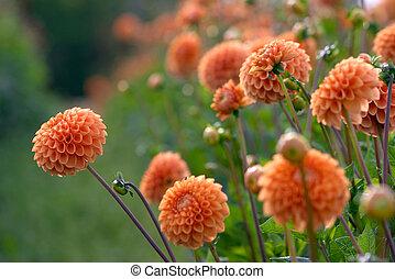 flowers dahlia culture
